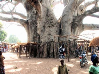 20090327214610-baobab-tree-allicooper.jpg