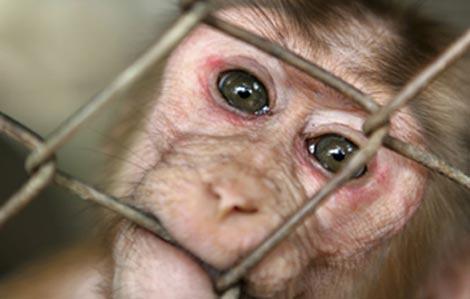 20100717182956-chimpance-utilizado-en-experimentos-cientificos.jpg