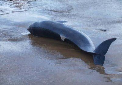 20130327010314-delfin-muerto-en-playa.jpg