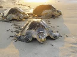 Procuran calmar recelos por tardía llegada de tortugas a Nicaragua