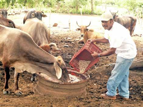 Fortalece Gobierno de Nicaragua apoyo al sector ganadero